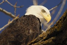 Photo of Was vergiftet Amerikas Seeadler?
